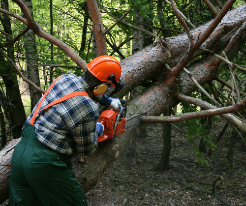 forestry worker lumberjack cutting through fallen tree with chainsaw